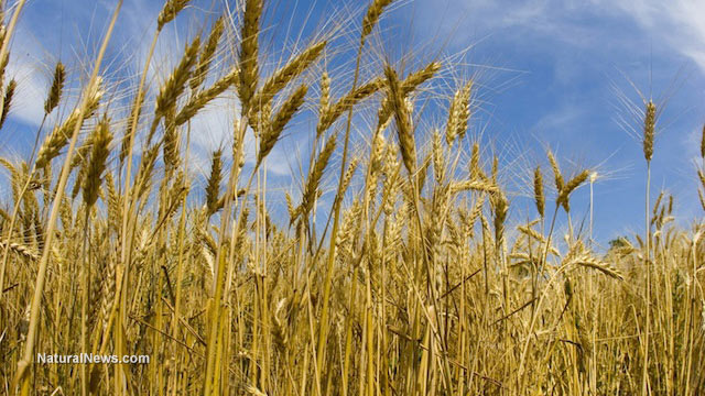 Gluten intolerance may not exist at all says surprising new